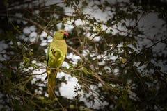 Upierścienionego parakeet papuzi żeński chlanie, łasowanie na tamrind drzewie w Djibouti Afryka Wschodnia zdjęcie royalty free