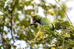 Upierścienionego parakeet papuzi męski chlanie, łasowanie na tamrind drzewie w Djibouti Afryka Wschodnia Obrazy Royalty Free