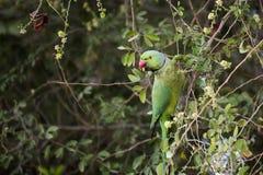 Upierścienionego parakeet papuzi męski chlanie, łasowanie na tamrind drzewie w Djibouti Afryka Wschodnia Zdjęcie Stock