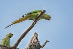 Upierścieniony Parakeet, umieszczająca gałąź, natura, kopii przestrzeń Zdjęcia Royalty Free