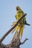 Upierścieniony Parakeet, umieszczający, gałąź, natura, kopii przestrzeń Fotografia Stock