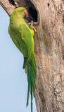 Upierścieniony Parakeet, umieszczający gniazdeczkiem, natura, kopii przestrzeń Fotografia Stock