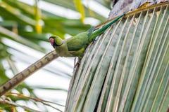 Upierścieniony Parakeet, umieszczający na liściach, natura, odbitkowy zdrój Fotografia Stock