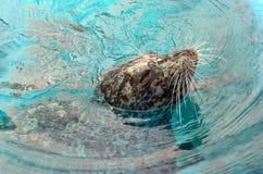 upierścieniona foka Zdjęcie Stock