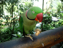 Upierścieniony parakeet obrazy stock