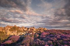 Upland Blooming Heather Flowers at Summer stock image