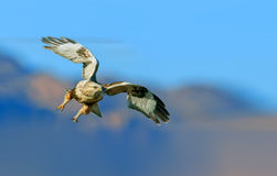 Upland Buzzard. Is catching fish in the wetlands royalty free stock photo