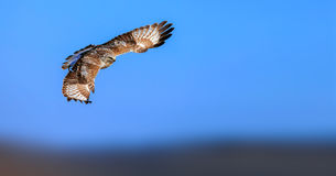 Upland Buzzard. Is catching fish in the wetlands royalty free stock photos