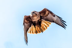 The Upland Buzzard. The flying upland buzzard Buteo hemilasius in the wild juglans regia valley of Gongliu county, Xinjiang of China royalty free stock photography