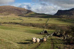 Upland flock. A flock of sheep walk up a track in a green field with a derelict building, hills and crags with a cloudy sky in the background Stock Image