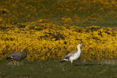 Upland Geese (Chloephaga picta leucoptera). Pair of Upland Geese (Chloephaga picta leucoptera) walking past flowering gorse on Carcass Island in the Falkland Royalty Free Stock Images