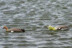 Upland Geese Courtship - Falkland Islands Stock Photo