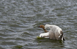 Upland Geese Mating - Falkland Islands Stock Photo