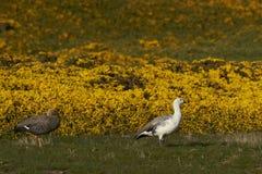 Upland Geese (Chloephaga picta leucoptera) Royalty Free Stock Images