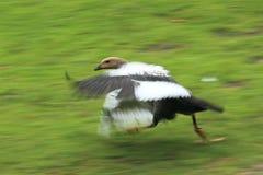 Upland goose Royalty Free Stock Image