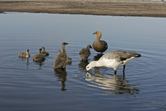 Upland goose, Chloephaga picta. Family group in water,  Falklands Royalty Free Stock Photos