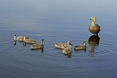 Upland goose, Chloephaga picta Royalty Free Stock Photos