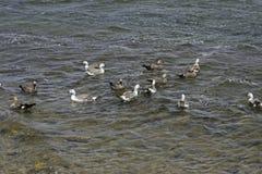 Upland goose, Chloephaga picta Stock Photography