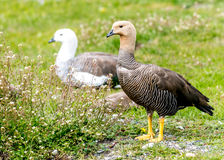 The Upland goose Royalty Free Stock Image