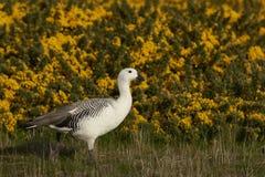 Upland Goose (Chloephaga picta leucoptera) Stock Image