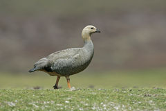 Upland goose, Chloephaga picta Royalty Free Stock Photography