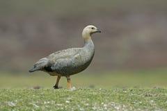 Upland goose, Chloephaga picta Royalty Free Stock Photography