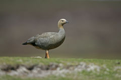 Upland goose, Chloephaga picta Stock Photo