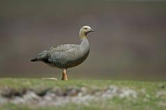 Upland goose, Chloephaga picta Stock Photo