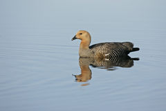 Upland goose, Chloephaga picta Royalty Free Stock Images