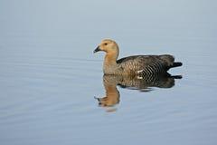 Upland goose, Chloephaga picta Royalty Free Stock Images