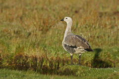 Upland goose, Chloephaga picta Royalty Free Stock Photo