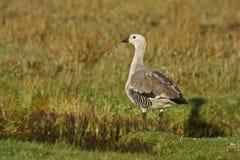 Upland goose, Chloephaga picta Royalty Free Stock Photo