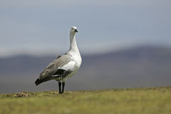 Upland goose, Chloephaga picta Stock Photos