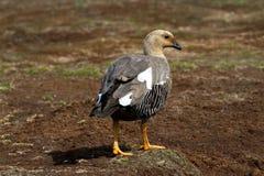 Upland Goose Female Stock Image