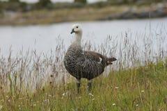 Upland goose or Magellan Goose Chloephaga picta Stock Images