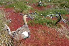 Upland Goose Stock Photo