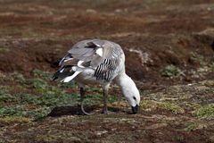 Upland Goose Male Stock Photography