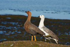 Upland Goose Royalty Free Stock Photo