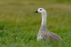 Upland Goose in Patagonia Stock Images