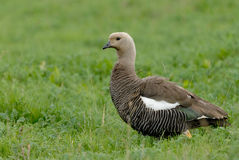 Upland Goose in Patagonia Royalty Free Stock Image