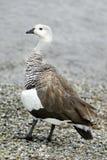Upland Goose Stock Image