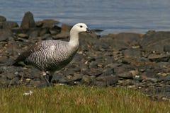 Upland goose, Tierra del Fuego, Argentina Royalty Free Stock Photos
