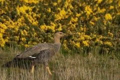 Upland Goose (Chloephaga picta leucoptera) Royalty Free Stock Image