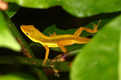 Upland Grass Anole (Anolis krugi) Stock Photography