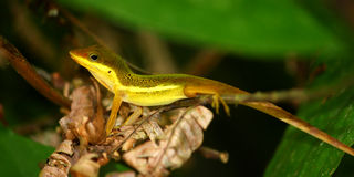 Upland Grass Anole (Anolis krugi) Stock Photo