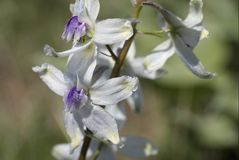 Upland Larkspur. Or Delphinium nuttallianum royalty free stock photography
