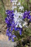 Upland Larkspur. Or Delphinium nuttallianum royalty free stock photos