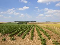 Green potato crops in a patchwork summer landscape Royalty Free Stock Photography