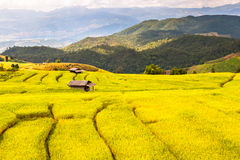 Upland rice farming in Thailand. Stock Photography