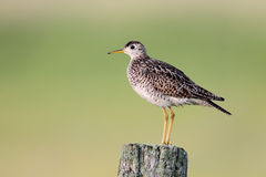 Upland Sandpiper. Perched on a wooden fence post in Kirkfield, Ontario stock photography